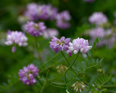Crown Vetch, 170mm lens, f/8