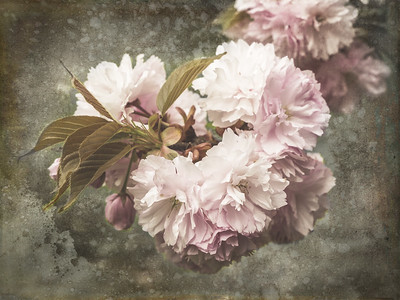 Cherry Esplanade Blossoms