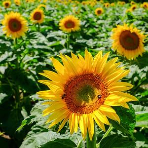 sunflower-005