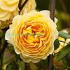 Rose-3104
