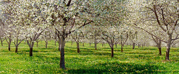 Apple Blossoms. Would look good printed as a 7x17 matted to a 10x20, OR fantastic as a metal print with a glossy finish.
