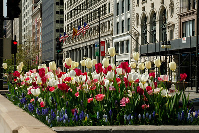 Red and White Tulips on  Michigan Avenue