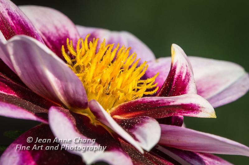 Dahlia Blossom