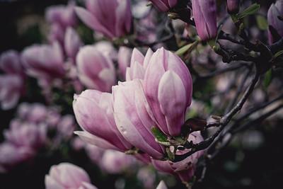 magnolia-003
