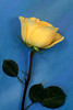 #163 Yellow Rose 2