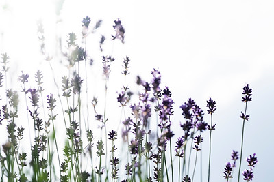 lavender-003