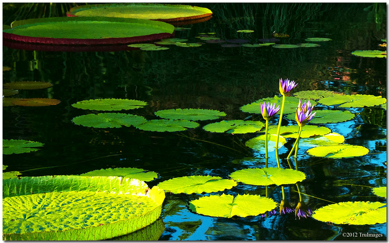 Aug 7<br /> Giant lilypads<br /> <br /> These lilypads were so huge, i felt as though i could stand on them myselft!