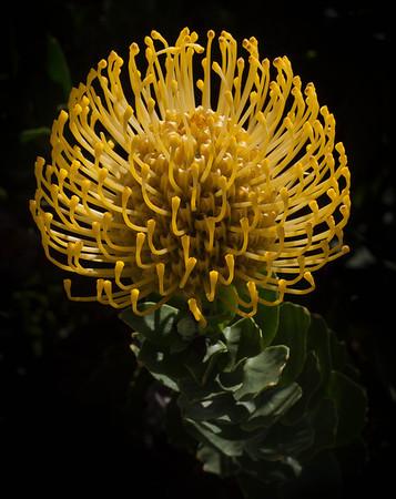<center><b>Proteus Flower - Closeup</b></center>