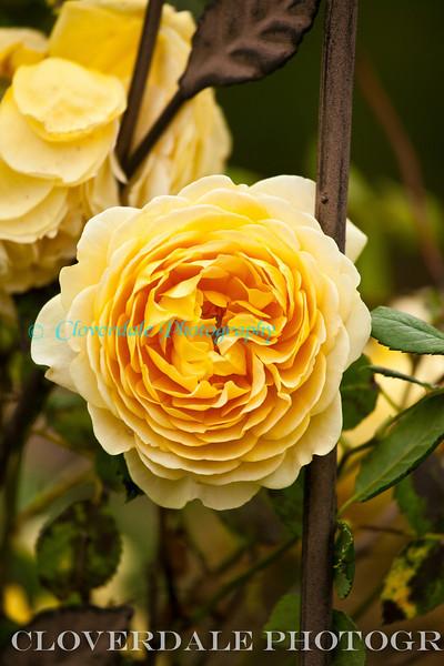 Rose-3104-2