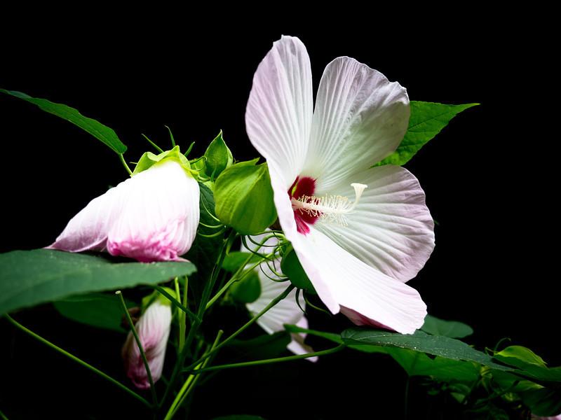 Hibiscus<br /> Alexandria, Virginia