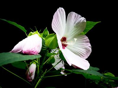 Hibiscus Alexandria, Virginia