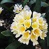 Pretty Buttercup Flowers in Costa Mesa California