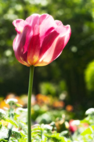 May 3<br /> Tall, I stand...<br /> <br /> A single proud backlit tulip caught my eye.<br /> Late upload today due to Smugmug hosting technical issues!  <br /> <br /> Happy Friday everyone and thanks for stopping by!