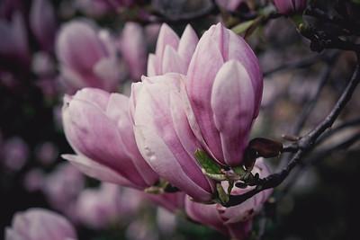 magnolia-002
