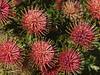 Proteus Flowers