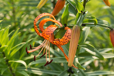 side view of a newly opened Tiger Lily bloom at sunrise