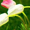 art form tulpe.