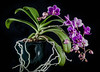 <center><b> Miniature Phelonopsis </b></center>