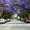 Purple Flower Trees on Santa Ana Street in Orange County California