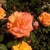 Pretty Spring Roses in Costa Mesa California