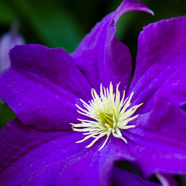 Lady Betty Balfour Clematis Flower