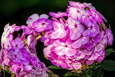 Garden Phlox With a Twist