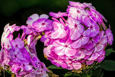 Garden Phlox With a Twist