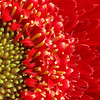 macro of a gerbera daisy