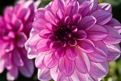 a close up of a puple dahlia with perfectly formed petals.