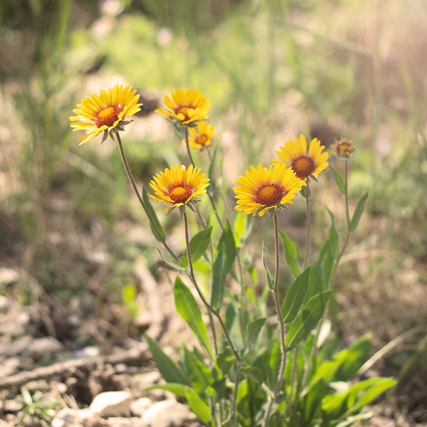 wildflowers in the Black Hills