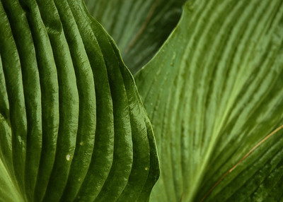 Hosta COLOR5