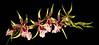 <center><b> Dendrobium Flower spray </b></center>