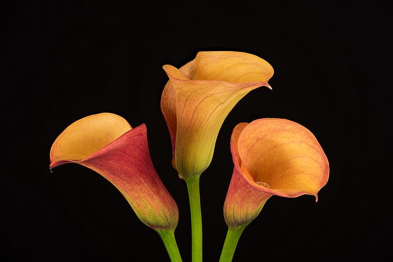 FSF 011 Calla Lilies