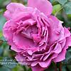 Pink Rose - 3