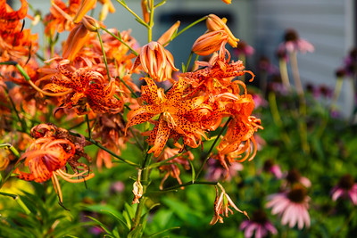 large cluster of Double Tiger Lily blossoms