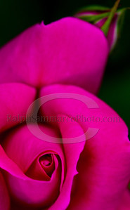 The Rose,RalphSammarcoPhoto com_edited-1