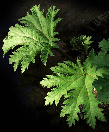<center><b> Giant Leaves </b></center>