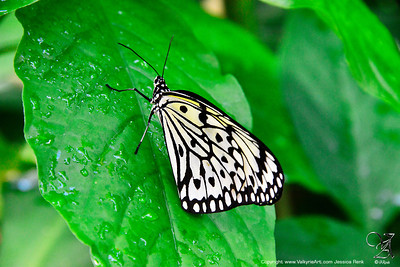 White Butterfly 2