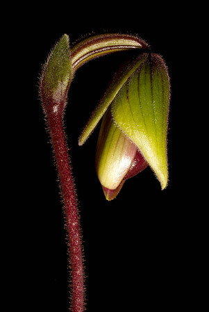 <center><b> Paphiopedilum - new flower </b></center>