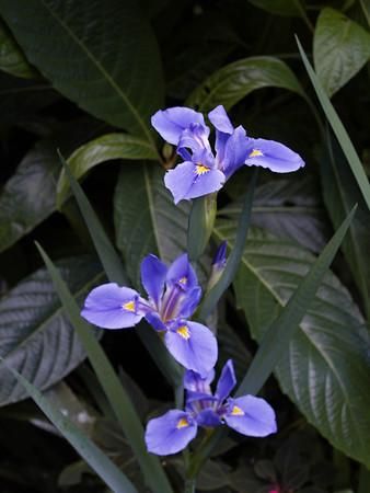 <center><b>Iris</b></center>