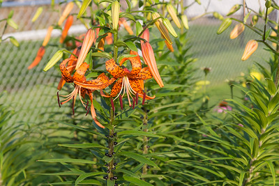 wide angle view of a several Tiger Lily blooms at sunrise