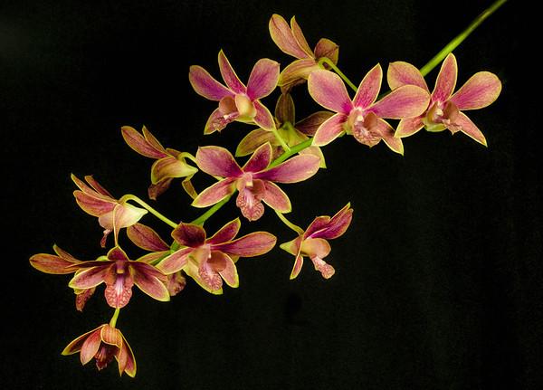 <center><b> Dendrobium </b></center>