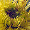 Yellow Gerbera, 1998<br /> Film Photography