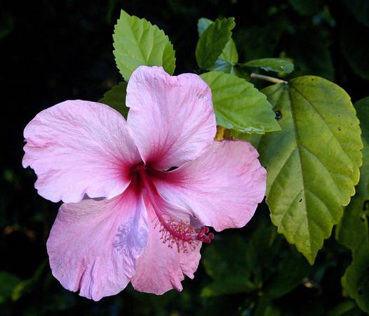 <center><b> Hibiscus </b></center>