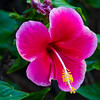 Pink Hibiscus flower, Kauai, Hawaii