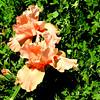 Peach Iris in Denver Botanical Gardens