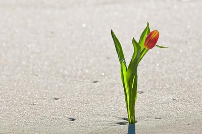 """""""Sand Tulip"""", Seaside Park, NJ."""