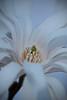 Soft Star - star magnolia