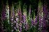 Foxglove Forest