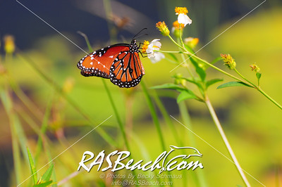 Monarch Butterfly_003